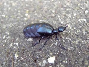 Schwarzblauer Ölkäfer (Meloe proscarabaeus)